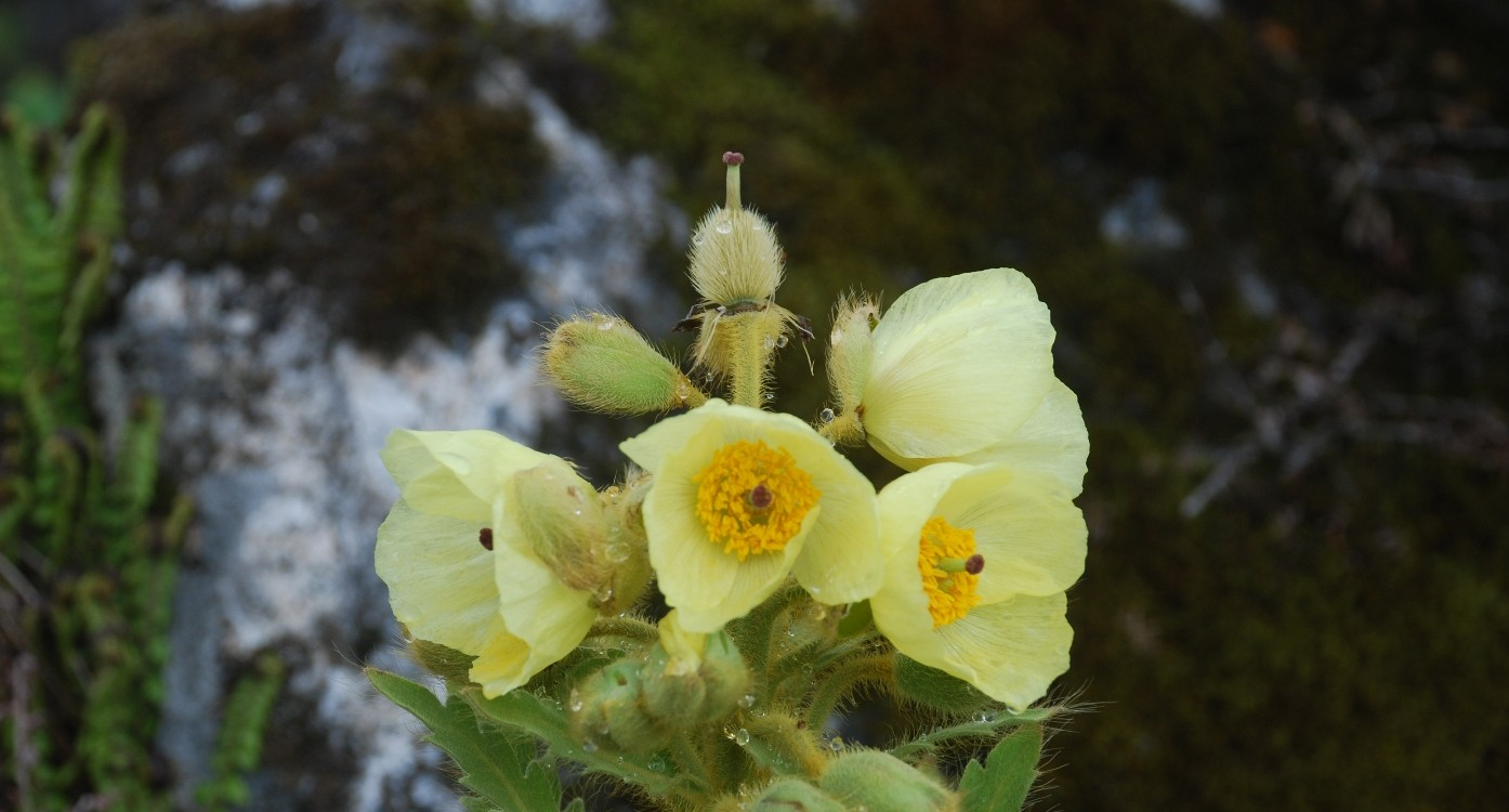 Alpine Flower tour of Sikkim