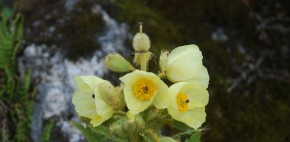 Meconopsis Panuculata